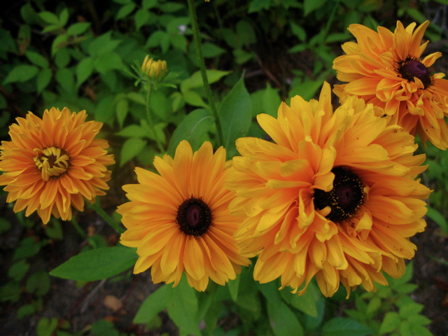 Rudbeckia 'Goldilocks' is fluffytastic.
