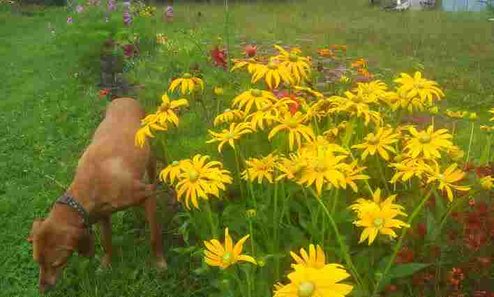 Furface guards the Rudbeckia 'Irish Eyes'.