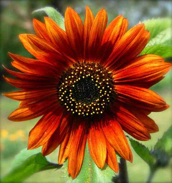 Sunflower 'Earthwalker'.