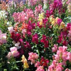 Antirrhinum. Snapdragon. 'Cheerio Mix'.