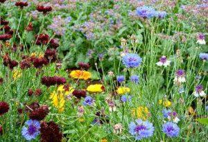 Cornflowers, Calendula