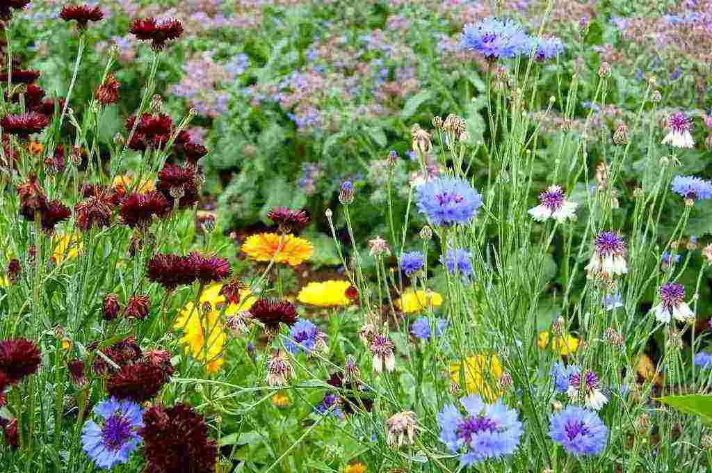 Cornflowers, Calendula & Borage hanging out at Higgledy HQ.