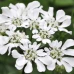 Orlaya Grandiflora 'White Finch'