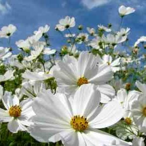 The mighty Cosmos 'Purity'.