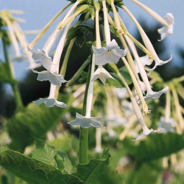 Nicotiana 'White Trumpets'