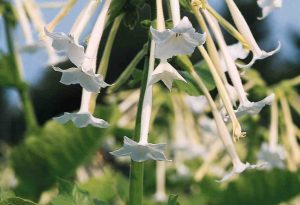 Nicotiana White Trumpets.