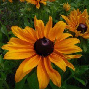 Rudbeckia-Marmalade-seeds