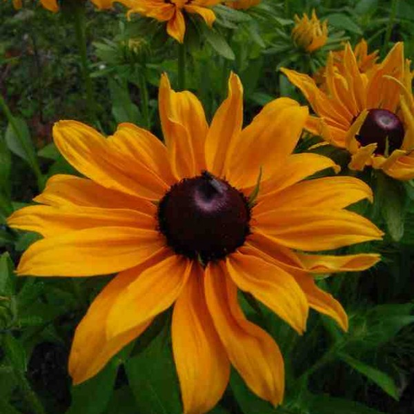 Rudbeckia 'Marmalade'...one of my fav flowers of all time...best started off in pots on a windowsill and planted out after the frosts.