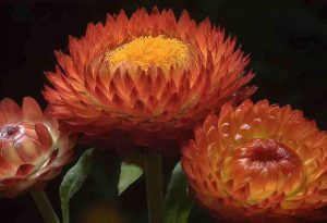 A copper coloured Helichrysum...but not quite as classy as