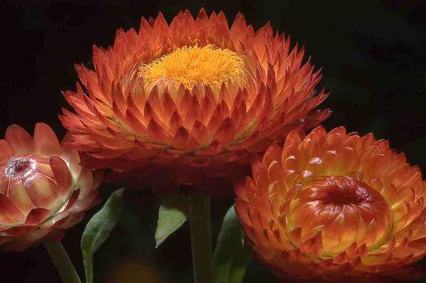 A copper coloured Helichrysum...but not quite as classy as 'Copperhead'