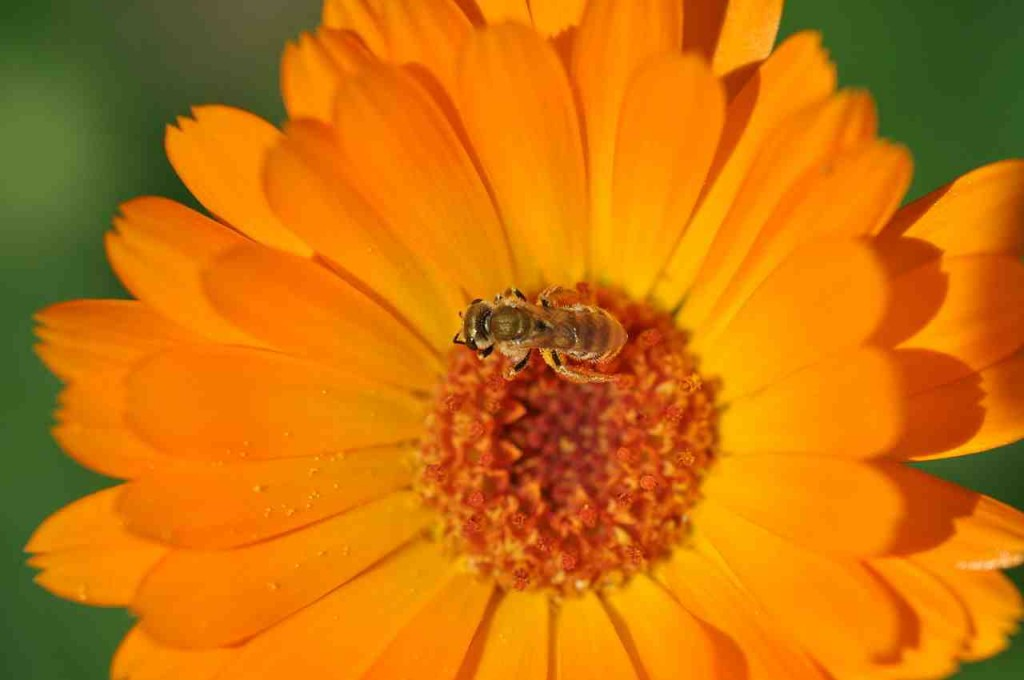 If I Was A Bee I Would Hang Out With Calendula Too.