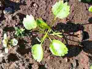 Ammi-Majus-Seedling