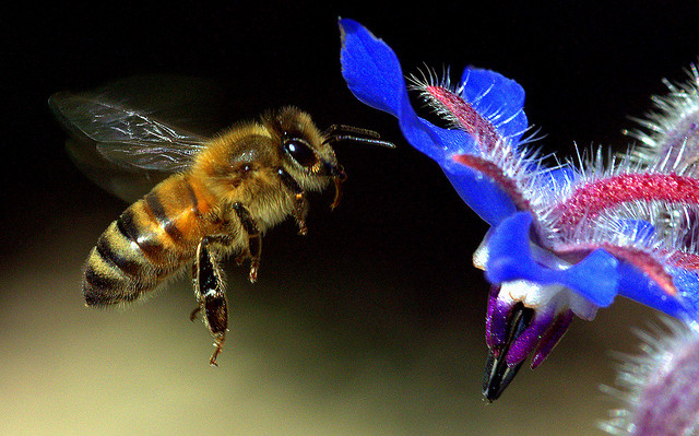 Bee Checking Out The Borage.
