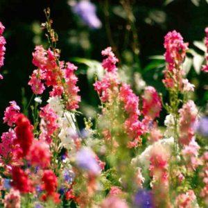 Larkspur-seeds-1024x680