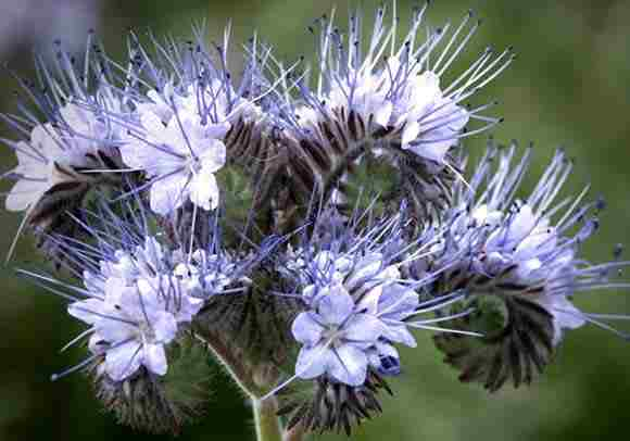 Phacelia...handsome devil...the bees can't keep their paws off him...