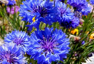 blue-ball-cornflowers