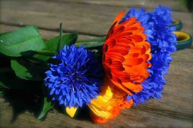 Calendula and Cornflowers...both 'appy as Larry with a May sowing.