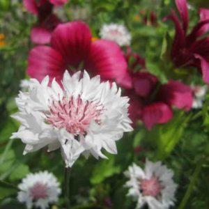 classic-romantic-cornflower