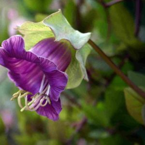 cobaea-scandens