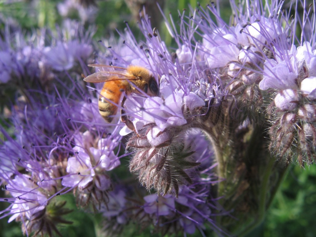 The Mighty Phacelia.