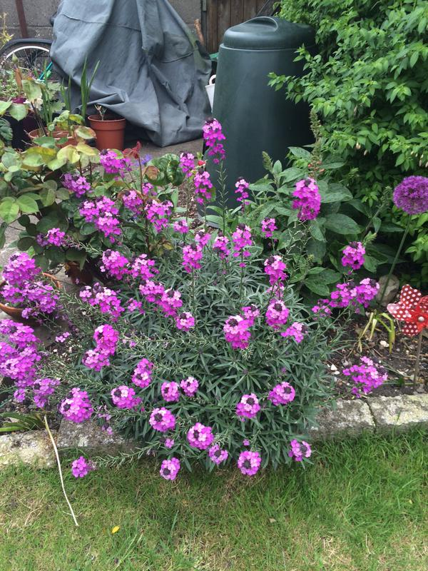 Laura Lont (Twitter). Thank you for this lovely erysimum. 542 points minus 856 points for it not coming from Higgledy Seed stock......oh my life!