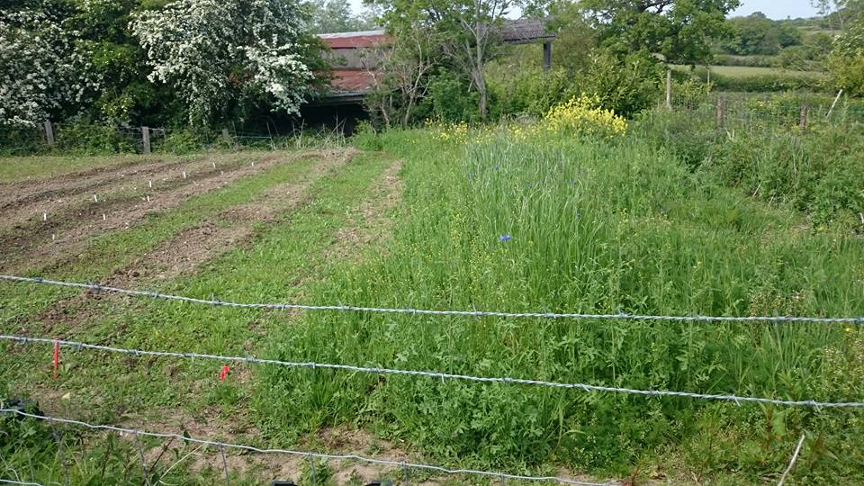 Thx Lucy Sortface from FB for this pic...this is a big old patch eh!? Autumn sown cornflowers just coming out to the right...it's going to be a corker!