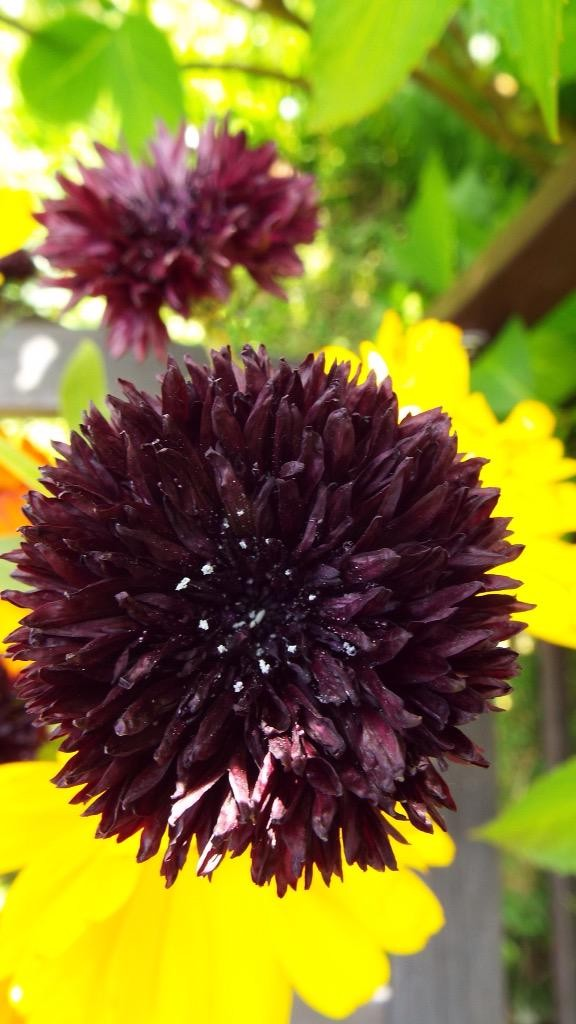 I love cornflowers...this health example of a 'Black Ball' was grown by 'Lynda' (Twitter)...with some Calendula hiding out back...clearly autumn sown. 538 points minus 231 points for not having any 'Blue Ball' on the go....or any gnomes....gnomes are the in thing this season.