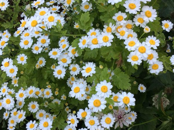 Beautiful Feverfew from Vivian Self...easy to grow and VERY useful as a cut flower. 453 points plus 53 bonus points for 'simple beauty'.