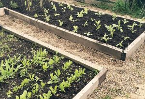 ...very tidy raised beds looked after by Liz Ackerley...