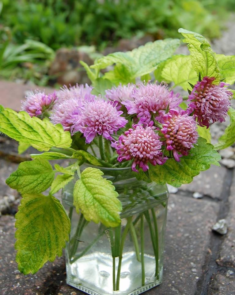 "Thx Minako Sato ""The knautia I sowed last year finally bloomed. It has been raining on and off all day here so I rescued some flowers before being totally flopped and made a posy with lemon balm."" That is beautiful! I love it...the Knautia will flower for yonks and will have a second flush....next year's plant will also be much bigger."