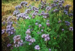 Heres one for kick off...this clump of Phacelia is growing on a fallow lotty plot...it would have self sown from last autumn.
