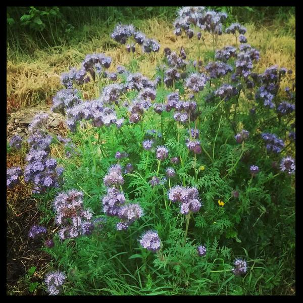 Here's one for kick off...this clump of Phacelia is growing on a fallow lotty plot...it would have self sown from last autumn.
