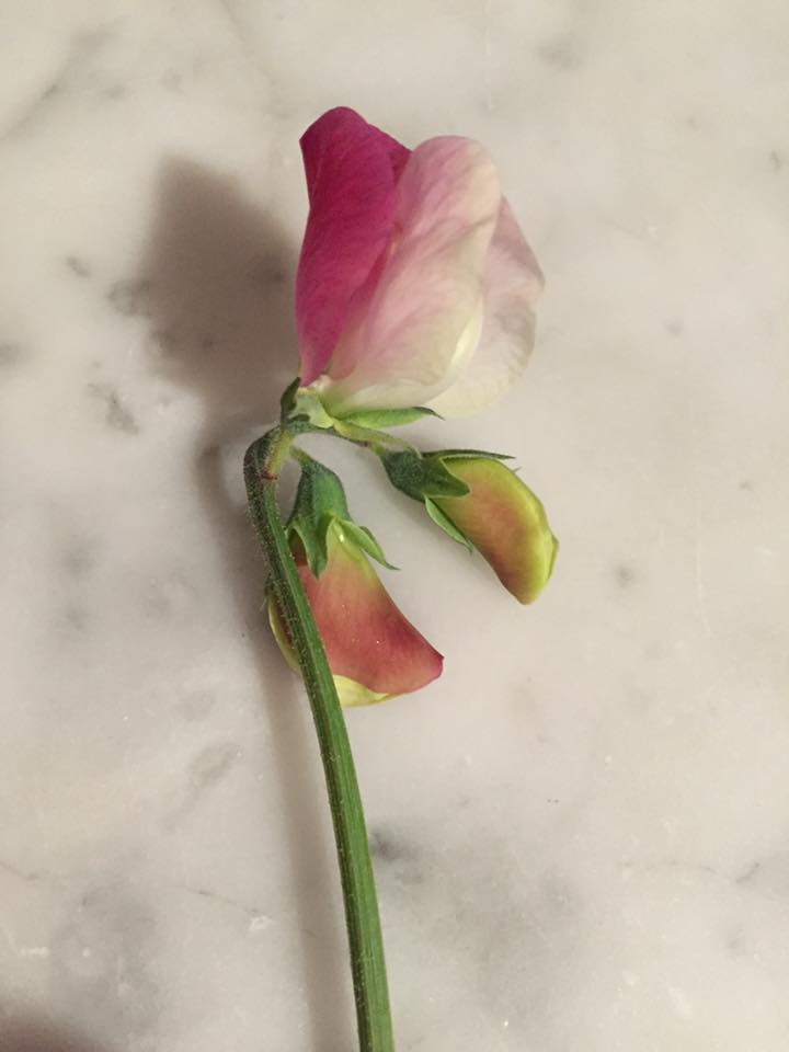 Sent from Carolyn Thompson. Carolyn's first sweet pea of the season...looks like 'Painted Lady'...super groovy.