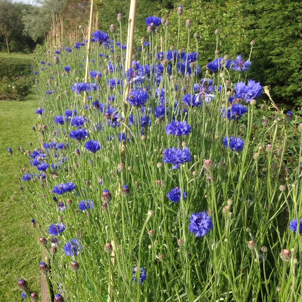 More stunning cornflowers these grown by the good people at The Wight Flower Farm.