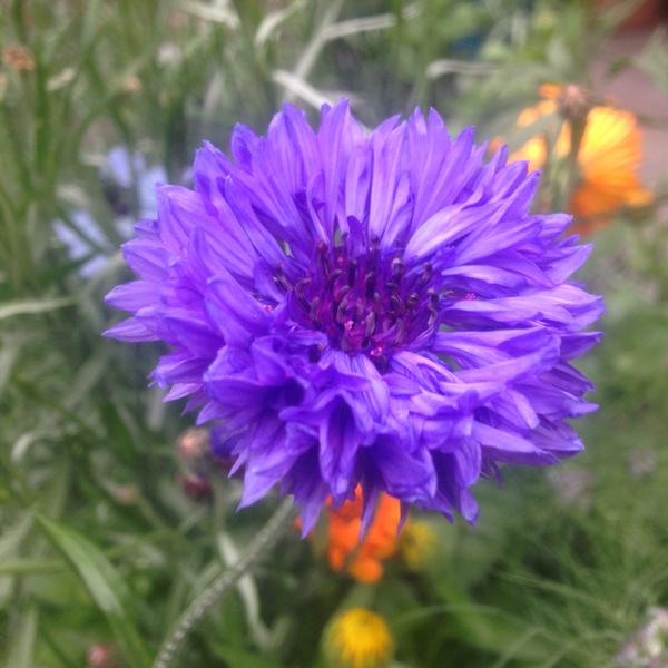 'Blue Ball'....(my fav flower) grown by Lis P of Twitter. Thx for the pic Lisa.