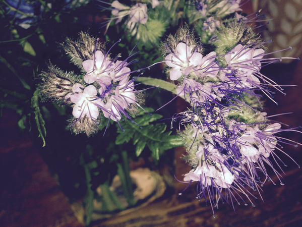 Phacelia...grown by Emma Brown...a very underated flower in the cutting garden...very prolific beastie.