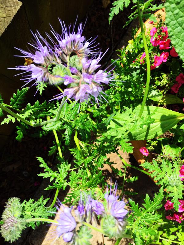 Phacelia...bees go potty for this chap. Thank you Helena J.