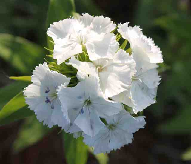 Sweet William 'Alba'