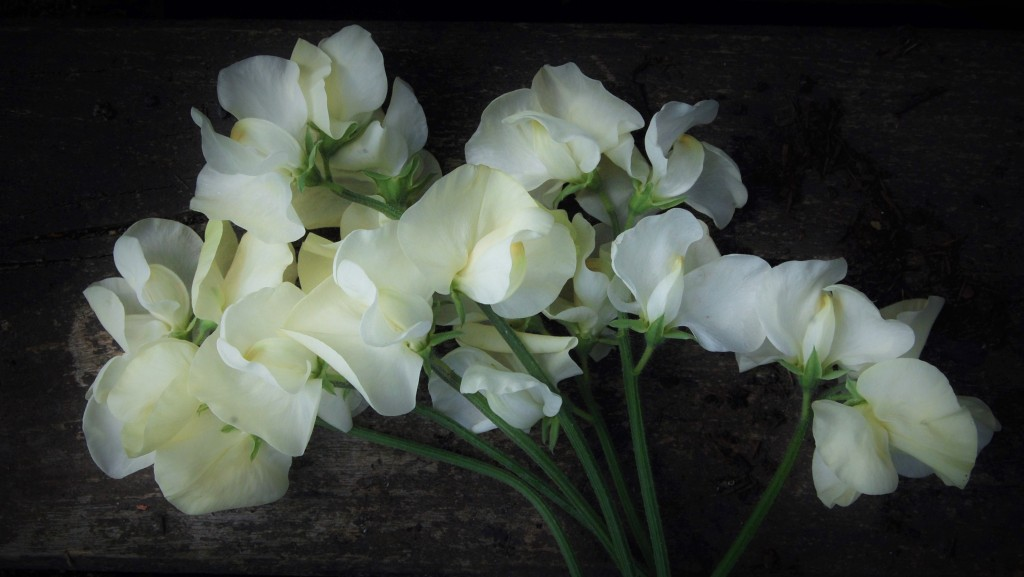 Flowers turn from delicate cream to ivory.
