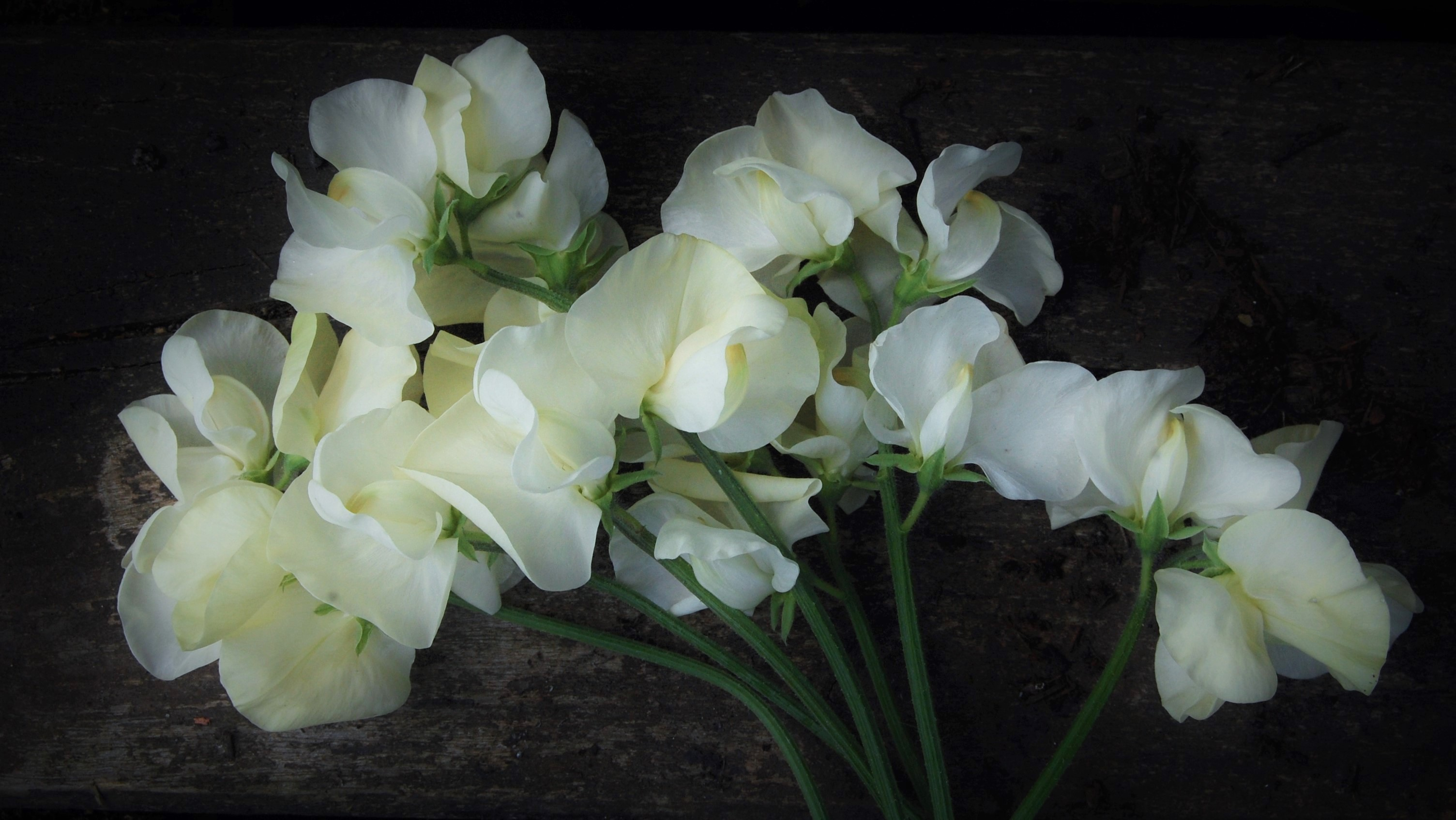 Sweet Pea Jilly From A Spring Sowing Higgledy Garden