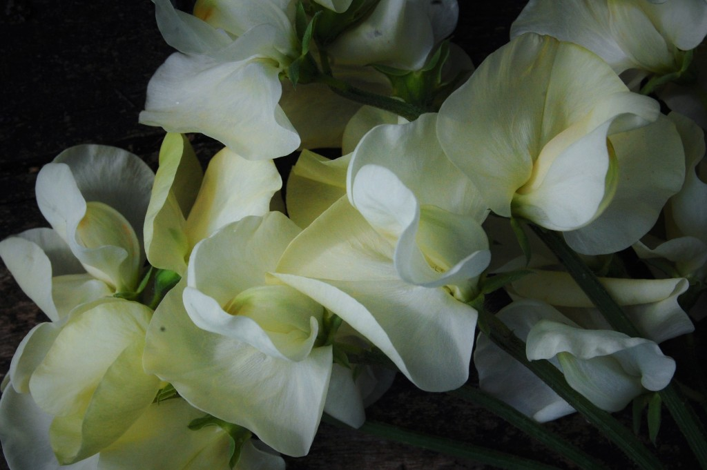 Sweet Pea 'Jilly'