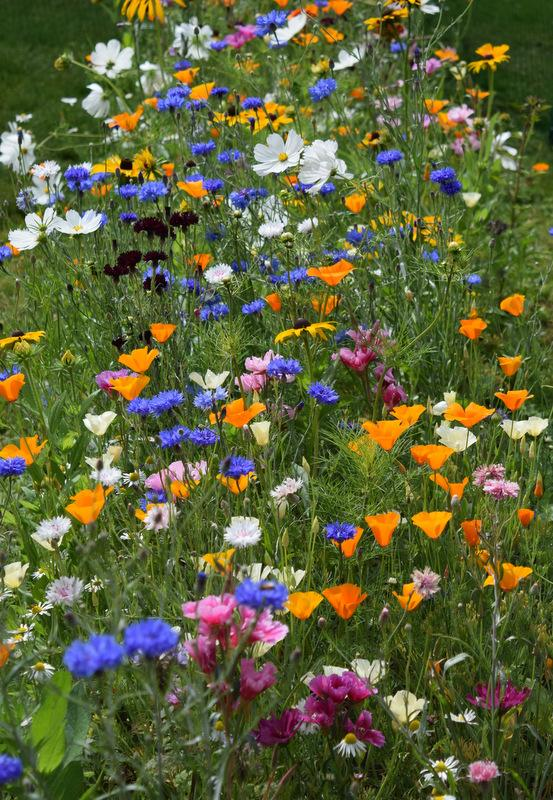 Fantastic mix of hardy annuals grown by @rosemckerrell of Twitter...all these can be autumn sown