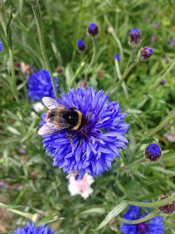 Bees are always grateful for the early flowers produced by an autumn sowing. Thanks to @littlebigspoon for this one.