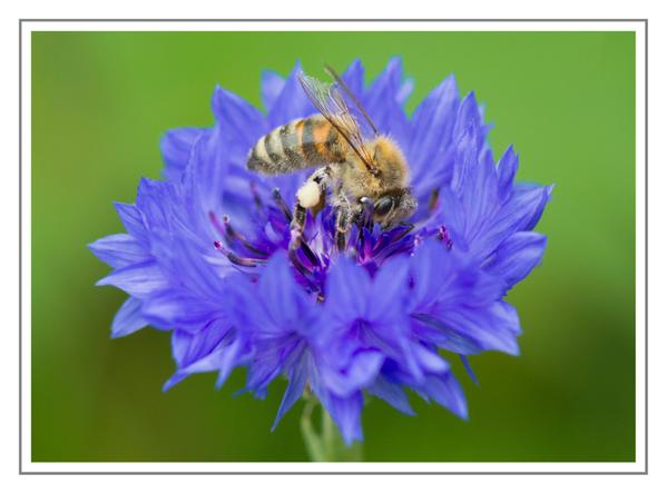 @MrsEmma has been at it again...taking pics of critters....this bee having a splosh about on a Cornflower 'Blue Ball'....check out that white pollen....top notch. Thank you Emma.