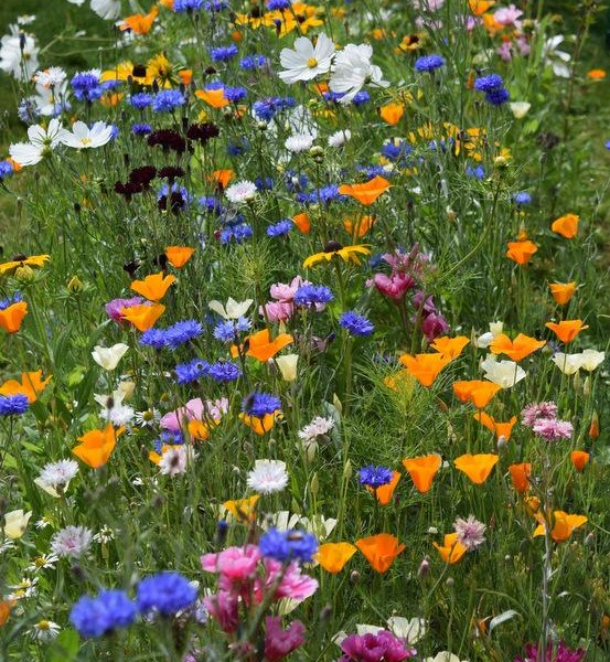 ...another from Rose Mckmerrell....a perfect Higgledy patch of annuals....splendid.