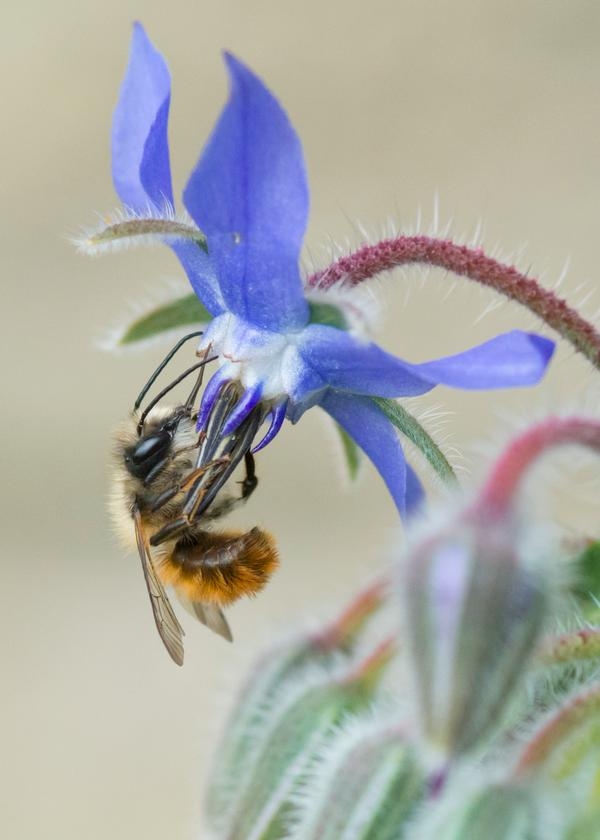 Thank you to @MrsEmma (Twitter) for this glorious photo of a honey bee having a swimmingly good time with his colleague, Borage.