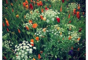 I was really happy with this Ammi majus and Eschscholzia combo this season. Both are hardy and can be sown in the early autumn.