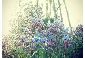 ...yes its a thug...but Borage has a magical beauty and is underrated as a cut flower.