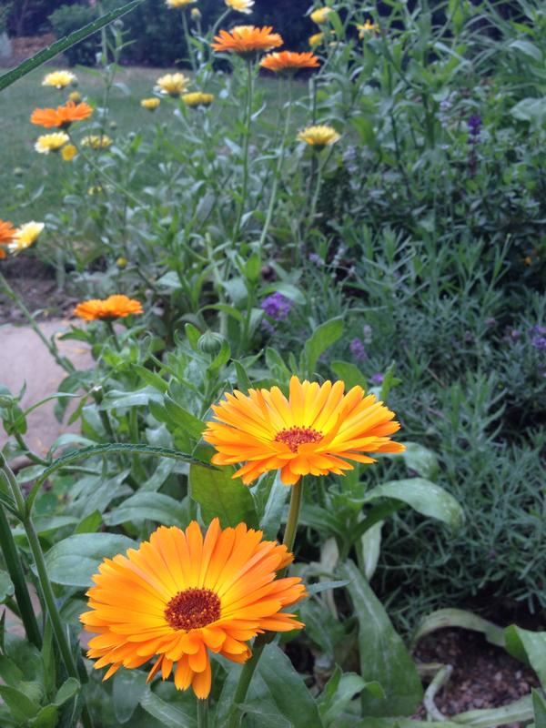 Very healthy looking calendula...thx to @lynnewheater for this.