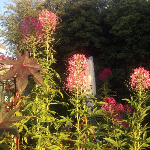 Love this pic of Cleome 'Violet Queen' from Aideen (I've lost your twitter name Aideen...sorry!)